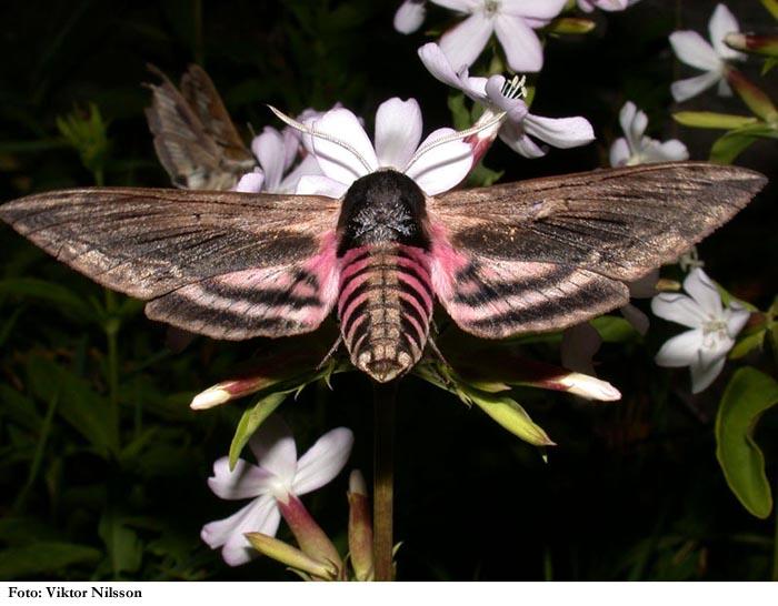 Perhonen kuin kolibri iltayöstä  Luonnon eläimet