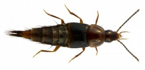 Atanygnathus